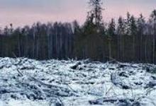 Природоохранная прокуратура проверяет законность вырубки сосен на Пыре