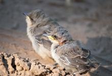Жителей Дзержинска просят никогда не трогать выпавших из гнезда птенцов