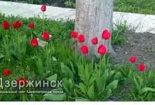 В Дзержинске посадят тюльпаны