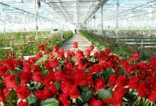 Тепличный комплекс для выращивания роз планируется построить в Дзержинске