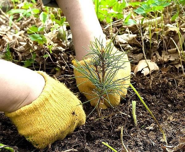 Как сажают лес