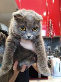 Найден котёнок британец дев.