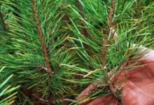 В окрестностях Дзержинска посадили 5000 сеянцев сосны