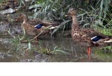 Лужу в Дзержинске утки приняли за водоем